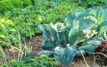 овощи-в-огороде1