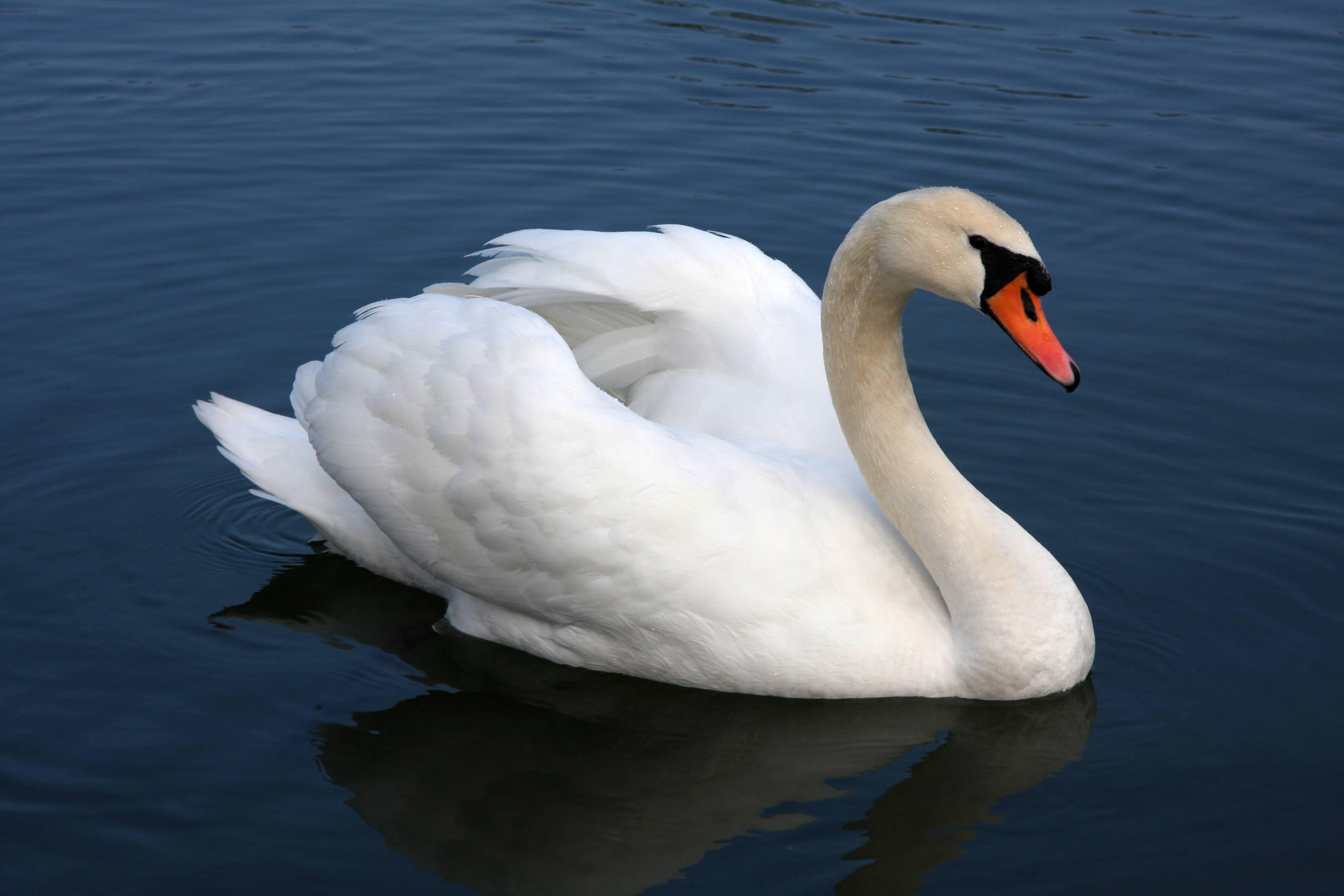 На озеро «Валя Морилор» вернулись лебеди (фото)
