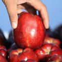 Социалистам удалось возобновить экспорт яблок в Россию
