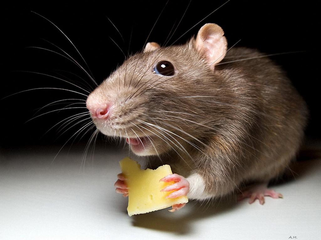 В кишиневской больнице мыши проникают даже в палаты пациентов (видео)
