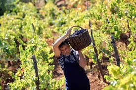 В Молдове начался сбор винограда
