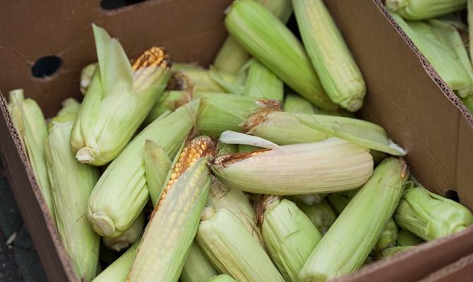 Убытки фермеров от кукурузы составят три миллиарда леев