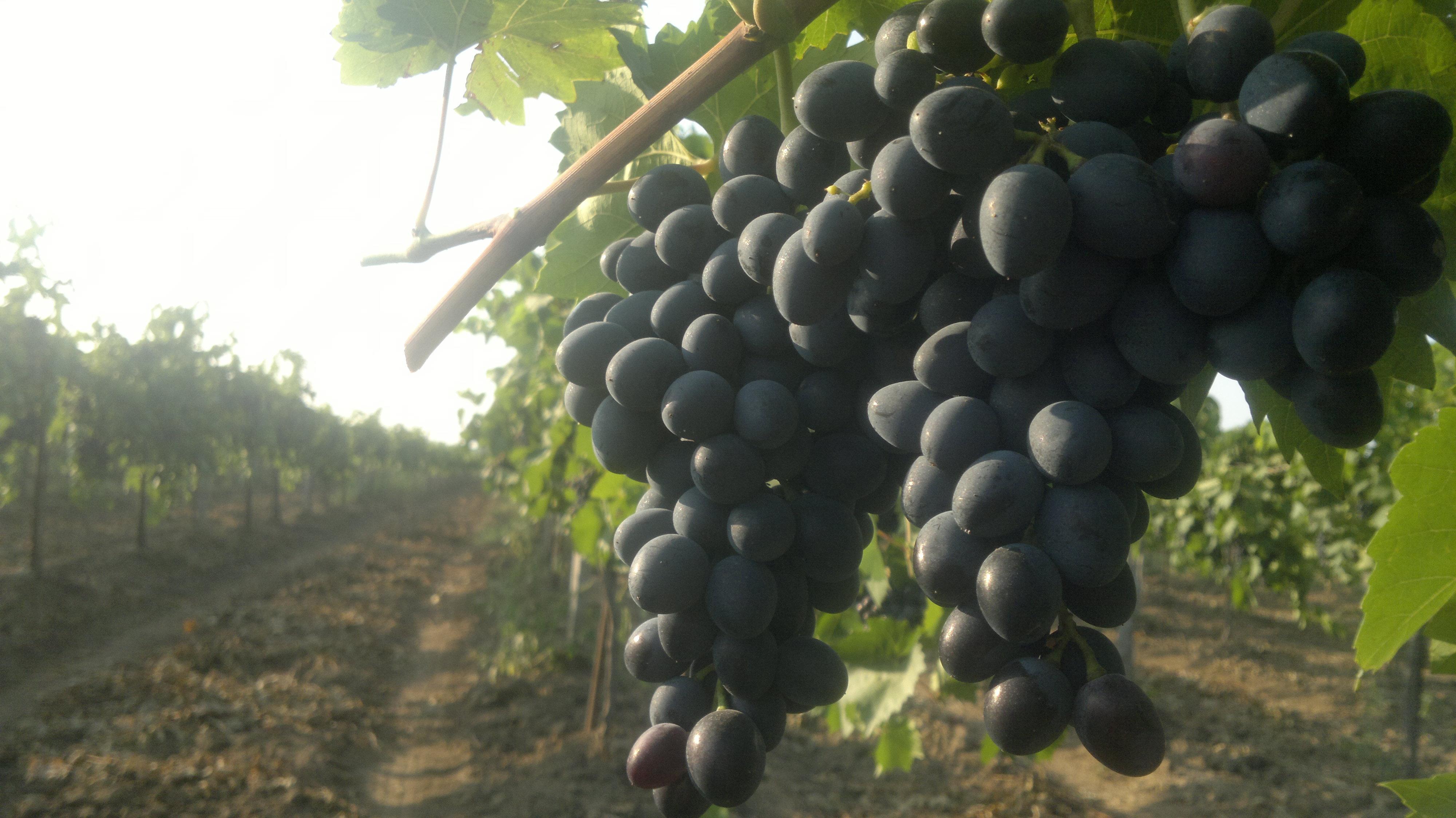 Минсельхоз обвинили в уничтожении винодельческой отрасли