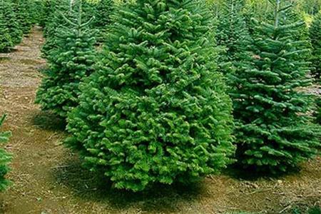 33 тысячи рождественских деревьев поступят в продажу в начале декабря