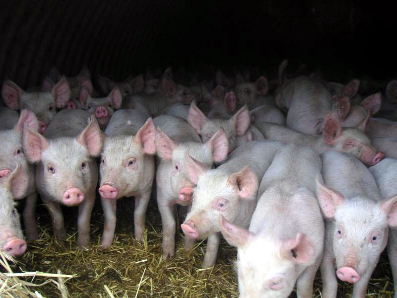 В Сорокском районе подтвержден очаг свиного гриппа