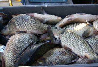 Большинство продавцов живой рыбы не имеют необходимых документов