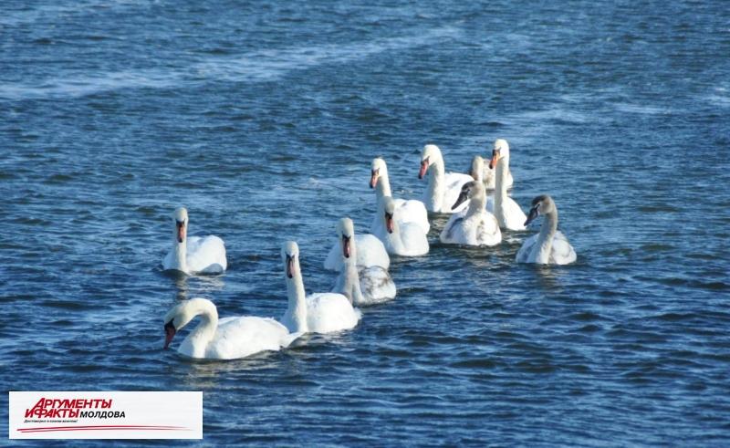 Лебеди зимуют на Днестре
