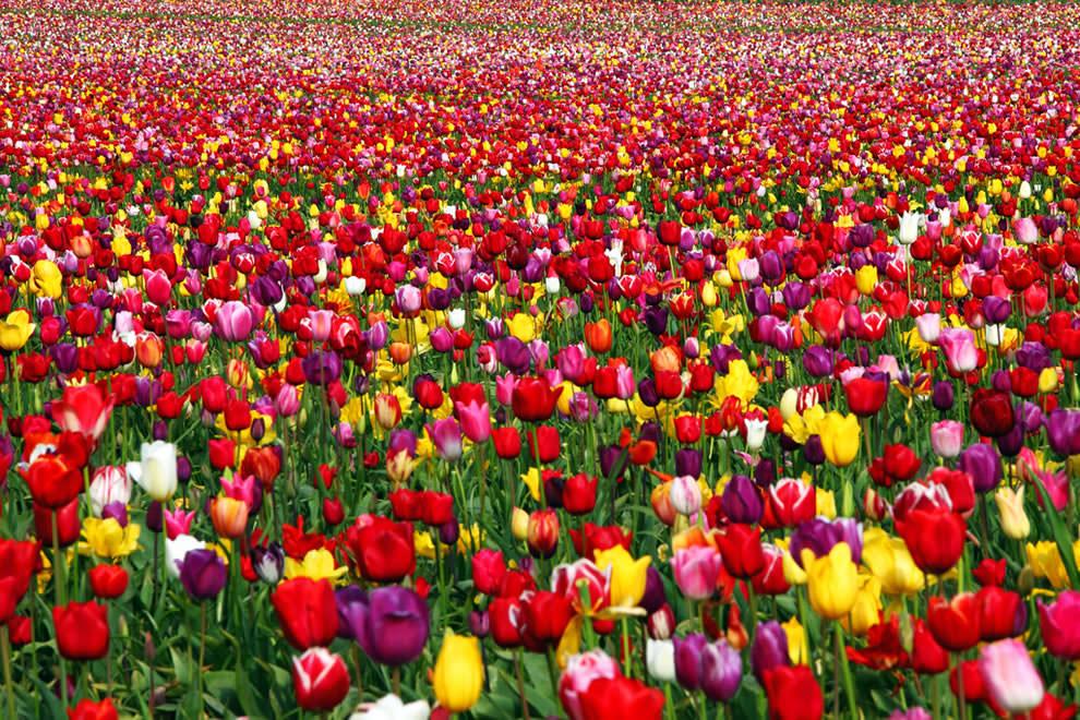 Весна близко: в Бардаре расцвели первые тюльпаны
