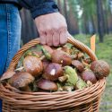 Растет число случаев отравления грибами в Молдове