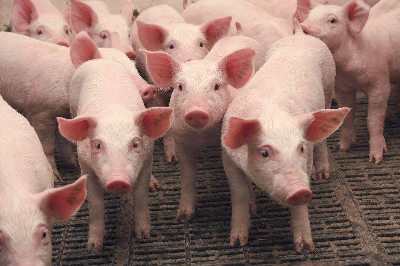Вспышка АЧС в Хынчештах: специалисты НАБПП уничтожили около 30 свиней (ВИДЕО)
