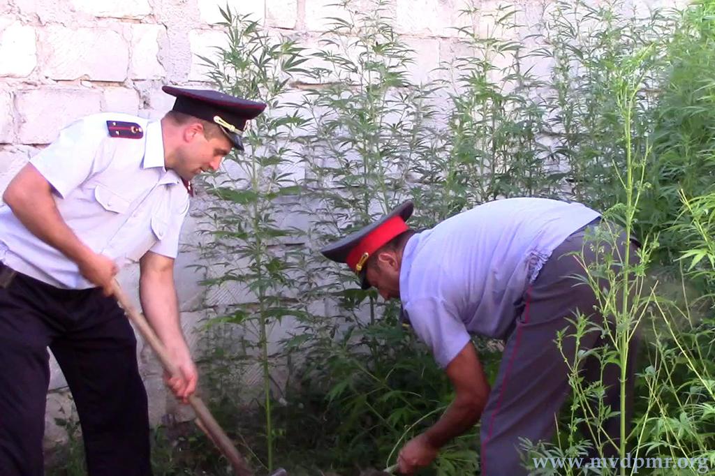 Пьяный дебошир в Приднестровье попался на выращивании конопли (ФОТО)