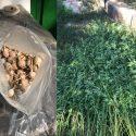 Плантацию мака и конопли обнаружили в Кишиневе (ВИДЕО)
