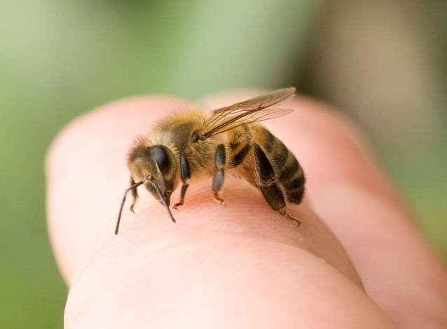 Молдаванка в Италии впала в анафилактический шок после укуса пчелы