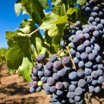 В холодильных установках фермеров хранятся еще около тысячи тонн винограда и 35 тысяч тонн яблок