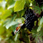 Почём витамины: на прилавках вовсю красуется молдавский виноград (ВИДЕО)