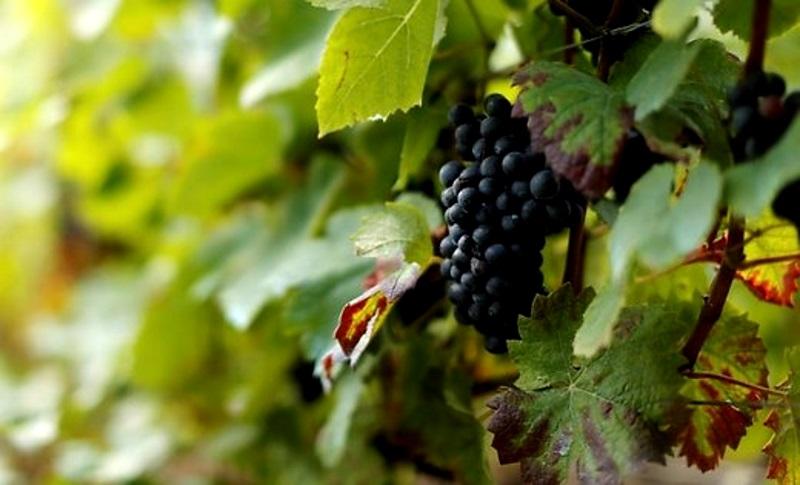 Первые заморозки в Молдове не нанесли ущерб урожаю
