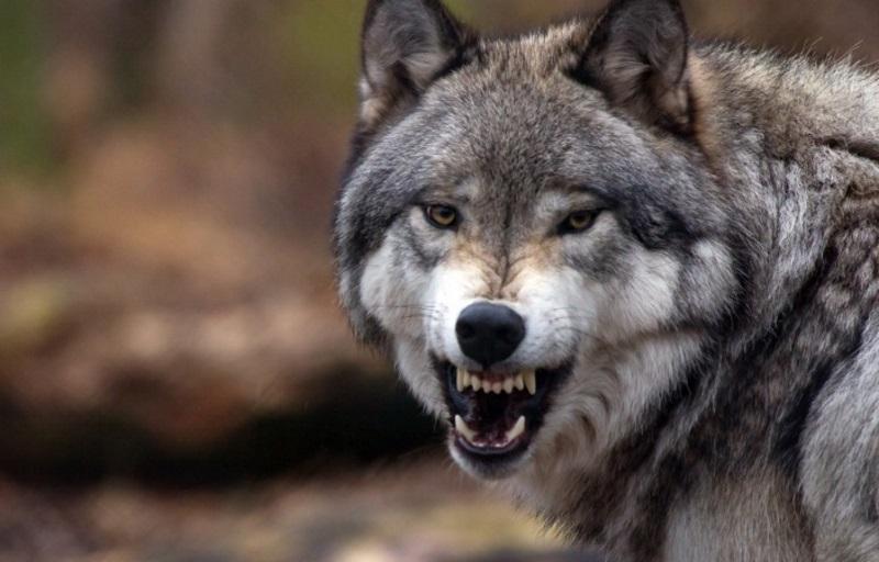 В Гагаузии волки напали на стадо овец