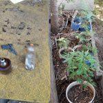 Житель столицы выращивал в цветочных горшках коноплю и незаконно хранил оружие (ВИДЕО)