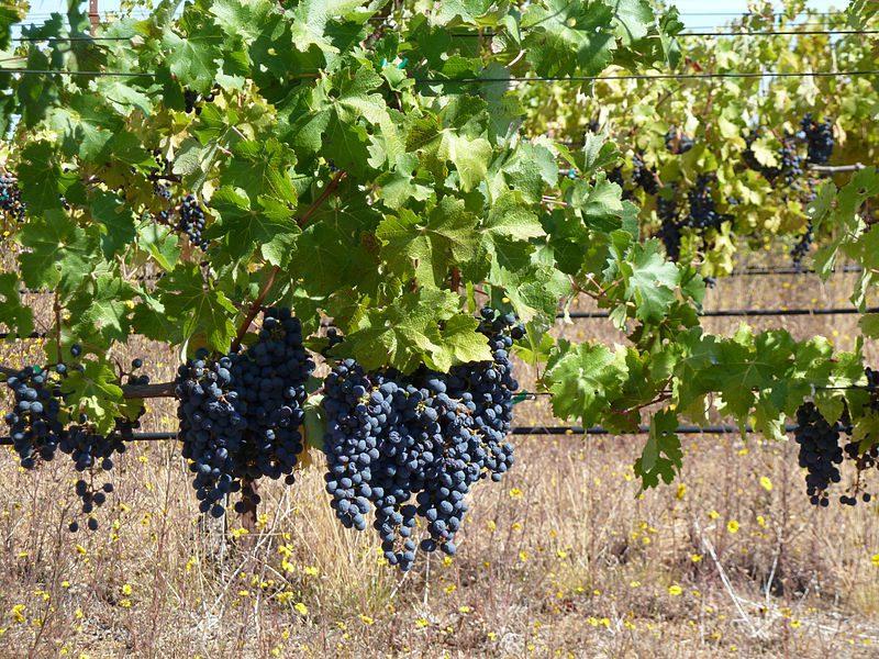 В столице пройдет еще одна ярмарка винограда
