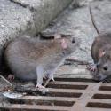 В многоквартирном доме на Чеканах люди живут в кошмарных условиях: повсюду блохи и крысы (ВИДЕО)