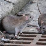Нашествие крыс в столичном парке сняли на видео очевидцы