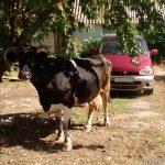 Корова-беглянка доставила хлопот полицейским в Бендерах