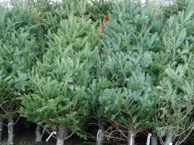 В этом году Moldsilva выставит на продажу 58 тысяч елок: сколько они будут стоить