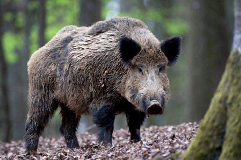 В Молдове выявлен новый случай чумы свиней