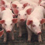 Вспышка африканской чумы свиней зафиксирована в Каушанах