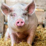 В Молдове обнаружен очаг африканской чумы свиней