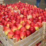 В этом году Молдова экспортировала в Россию рекордное количество яблок за все годы независимости