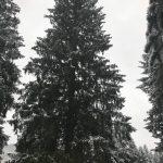 Эпопее с елкой нет конца: время инаугурации назначено, а самого дерева еще нет