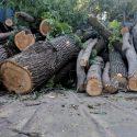 В Кишиневе в субботу будут вырублены десятки деревьев