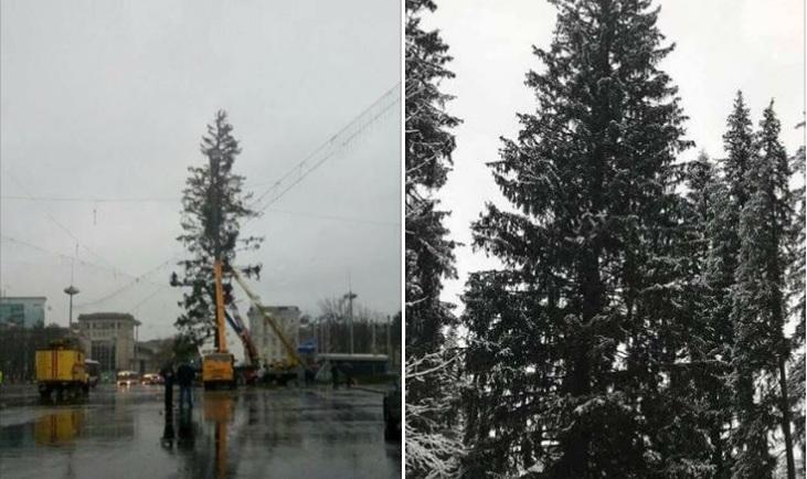 Сильвия Раду намерена заменить ободранную елку-украинку, срубив еще одно дерево