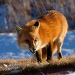 В Дубоссарском районе началась вакцинация лис против бешенства