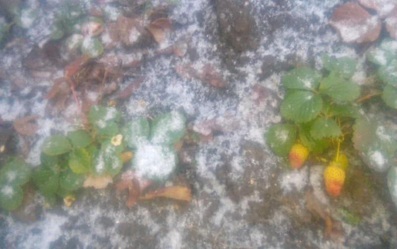 В пригороде Кишинева посреди зимы цветет и созревает клубника (ФОТО, ВИДЕО)