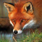 В Унгенском районе выявили случай бешенства у лисы