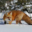 С 20 января охотиться на лис и шакалов можно без ограничений в Молдове