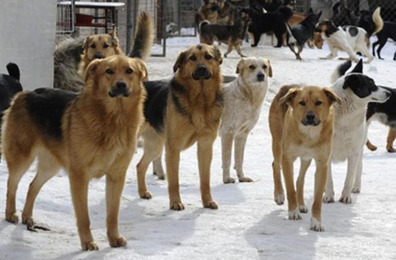 В Каушанах стая бездомных собак держит в страхе горожан