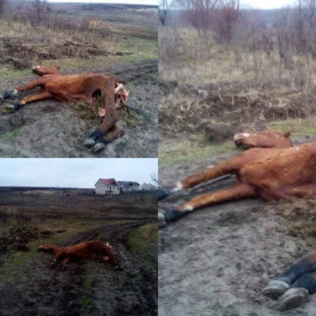 Житель Яловен бросил посреди дороги свою околевшую лошадь (ФОТО)