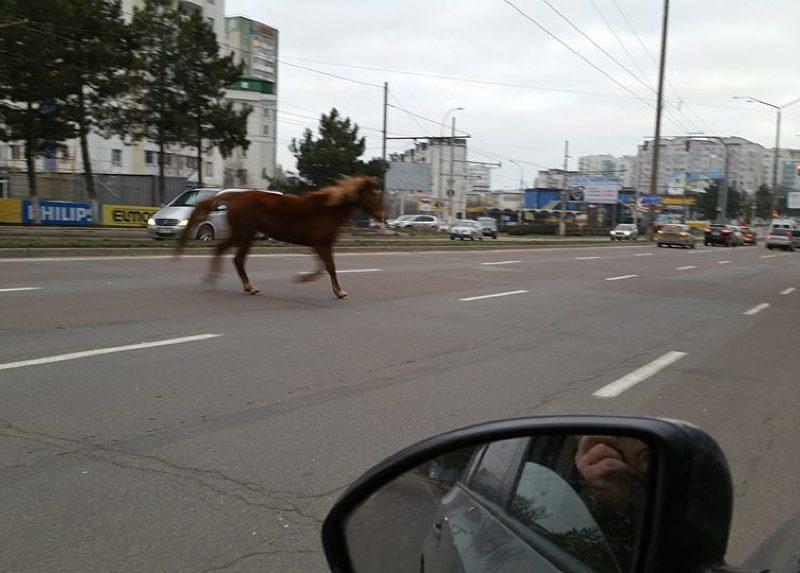 Лошадь без присмотра обнаружили бегающей по улице Кишинева (ФОТО)