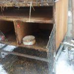 Волки снова напали на домашних животных в Чимишлии (ФОТО)