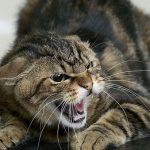 В Кишинёве зафиксирован случай бешенства у кошки