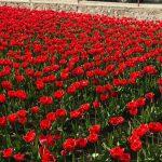 Кусочек Голландии в Молдове: в Бардаре зацвело около 5 тысяч тюльпанов (ФОТО, ВИДЕО)