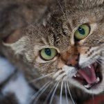 В Резине укус бешеной кошки привёл к заражению мужчины
