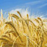Синоптики: аномальная погода угрожает молдавскому урожаю