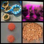 В Сороках банда наркоторговцев организовала в подвале дома плантацию марихуаны (ФОТО, ВИДЕО)