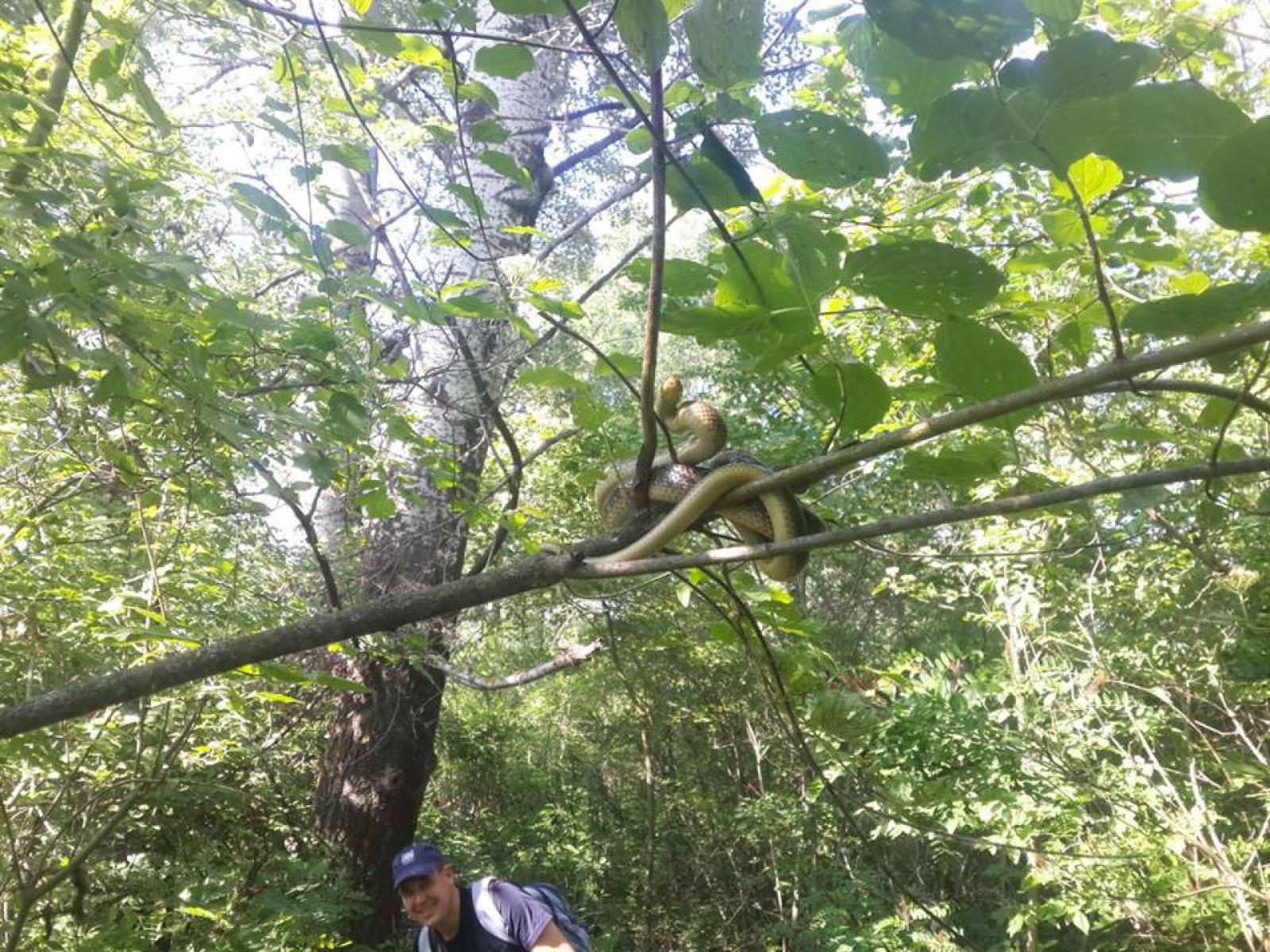 Ещё одну гигантскую змею обнаружили в лесу Унгенского района (ВИДЕО)