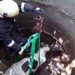 Пожарные вновь спасают животное: на этот раз в беду попал 300-килограммовый телёнок (ВИДЕО)
