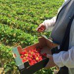 НАБПП: В молдавской клубнике пестицидов нет